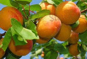 абрикос-калории