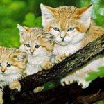 Близнецы — барханная кошка-