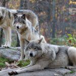 Дева — волчица