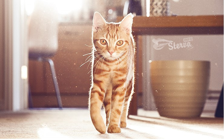 Лев — домашняя кошка