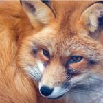 Рыбы — рыжая лисица