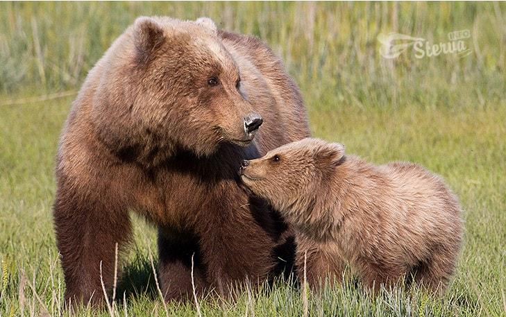 Телец — медведица