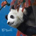 Весы — панда