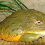 Гигантская лягушка-бык