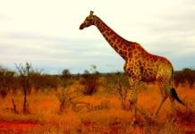 африка к чему снится по соннику миллера