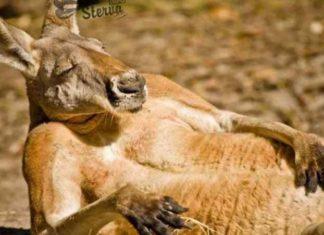 кенгуру к чему снится по соннику Миллера толкование снов-min