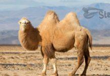 верблюд к чему снится по соннику миллера