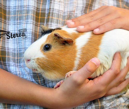 Морские свинки, как домашние животные, не особенно популярны.
